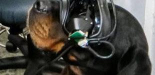 В США тестируют VR-очки для собак: подробнее о технологии
