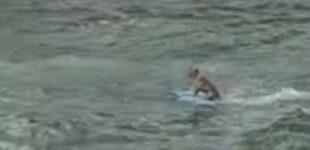 Невозмутимо катающаяся на серфинге собака стала звездой Сети