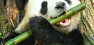 После встречи с гигантским «собратом» панда стала звездой Сети