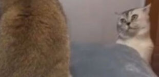Курьез: сеть покорила серенада кота-романтика для своей суровой любимой